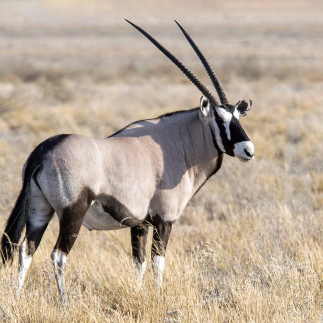 """Oryx antelope"" stock image"