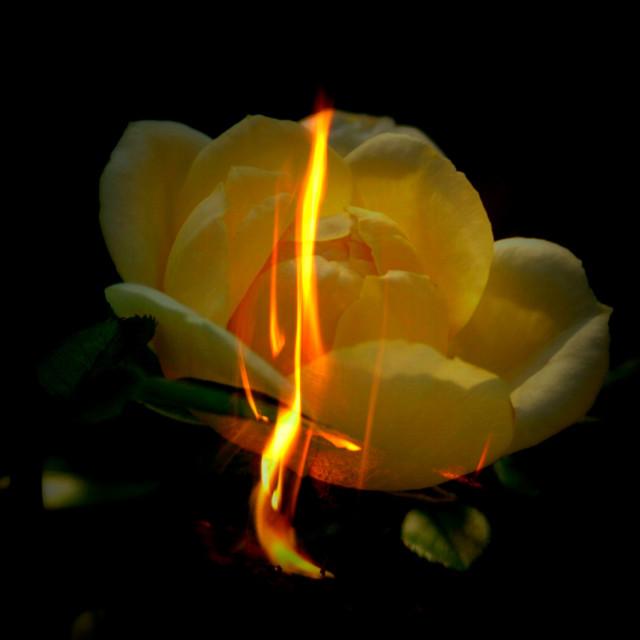 """""""Flaming rose"""" stock image"""