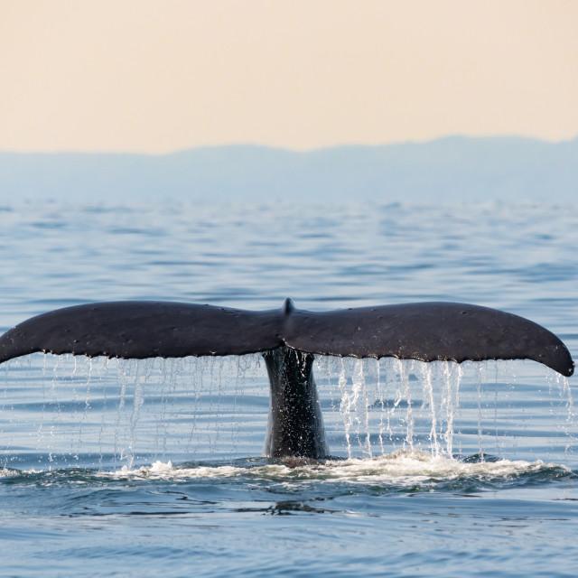 """Humpback Whale ""Zig Zag's"" Tail"" stock image"