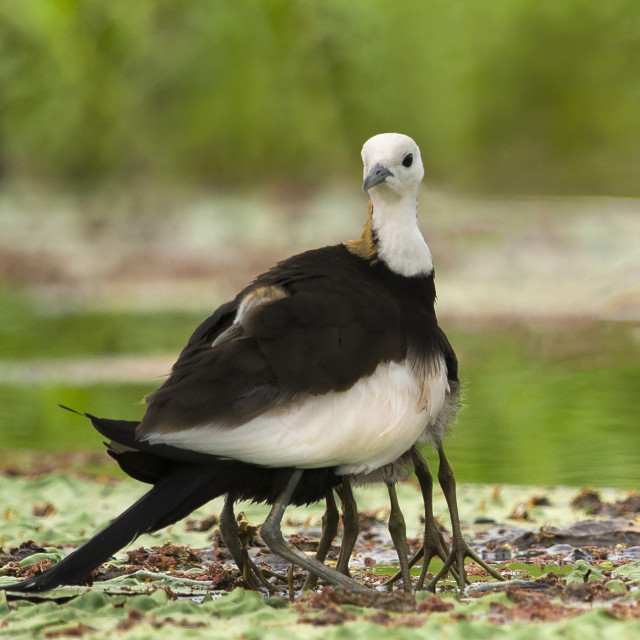 """Beautiful pheasant tailed jacana taking care his chick"" stock image"