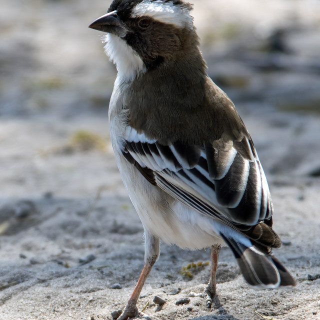 """""""White-browed sparrow-weaver"""" stock image"""
