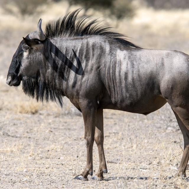 """""""Wildebeest antelope"""" stock image"""