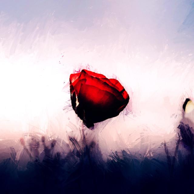 """Poppy in Watercolour, Cambridge UK."" stock image"