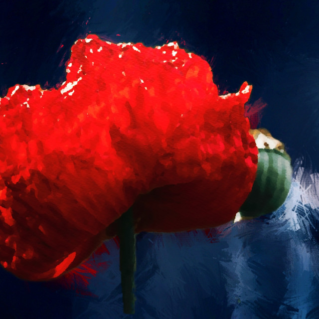"""Red Poppy in Watercolour, Cambridge UK."" stock image"