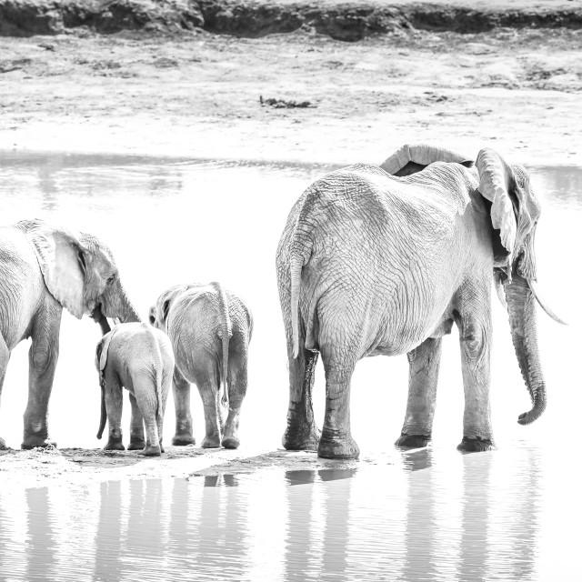 """elephant family drinking at waterhole"" stock image"