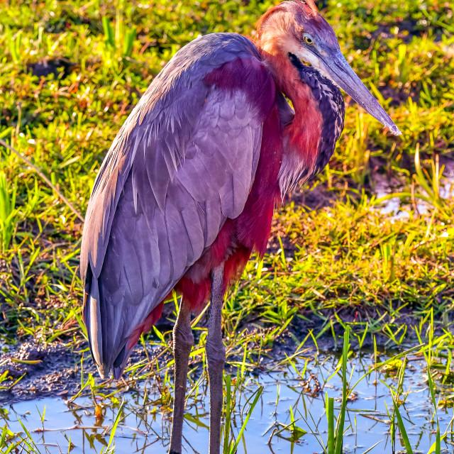"""Goliath Heron - Kruger Park South Africa"" stock image"