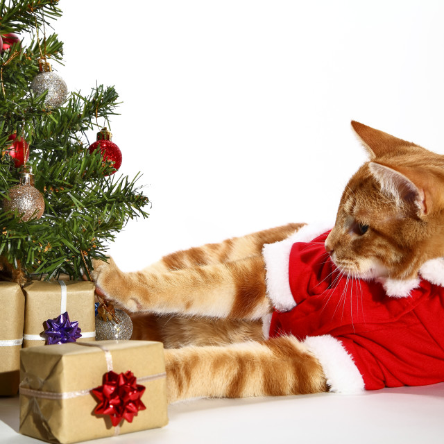 """""""Cute ginger tabby kitten dressed in a santa outfit with a christmas tree and wrapped gifts"""" stock image"""