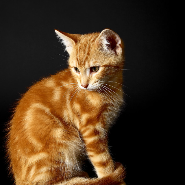 """""""Ginger tabby kitten sat side on and isolated on a black background with space for copy"""" stock image"""