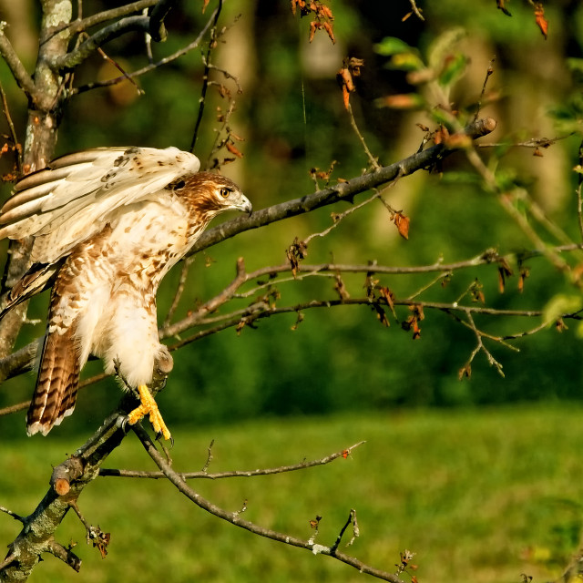 """""""A Red Tail Hawk"""" stock image"""
