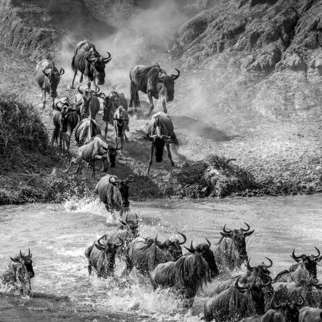 """Great Migration Crossing - Tanzania"" stock image"
