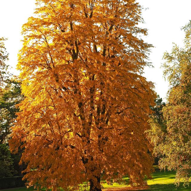 """""""Autumn Tulip Tree"""" stock image"""