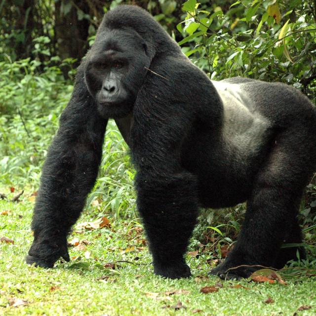 """Silverback Mountain Gorilla"" stock image"