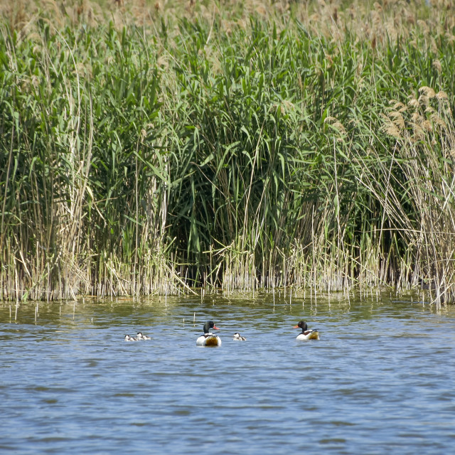 """Ducks on the lake"" stock image"