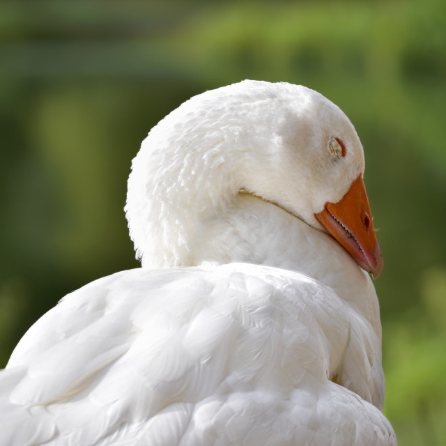 """White goose asleep"" stock image"