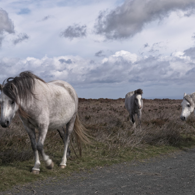 """Long Mynd Ponies"" stock image"
