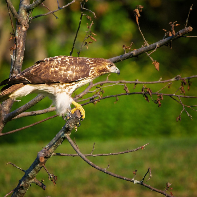 """""""Red Tail Hunting"""" stock image"""