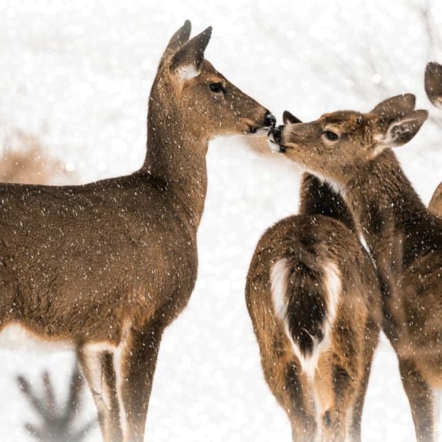 """""""Frozen Kisses"""" stock image"""