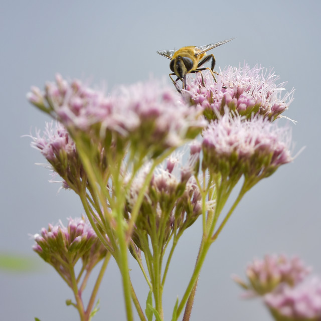 """""""Bee on pink flower"""" stock image"""