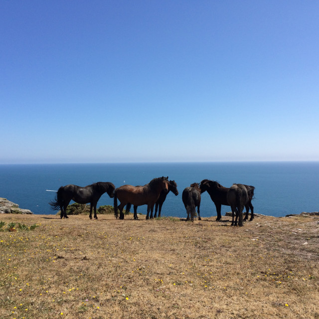 """Wild horses at Bolt Head"" stock image"
