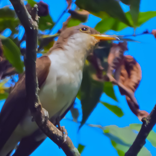 """Yellow-Billed Cuckoo"" stock image"