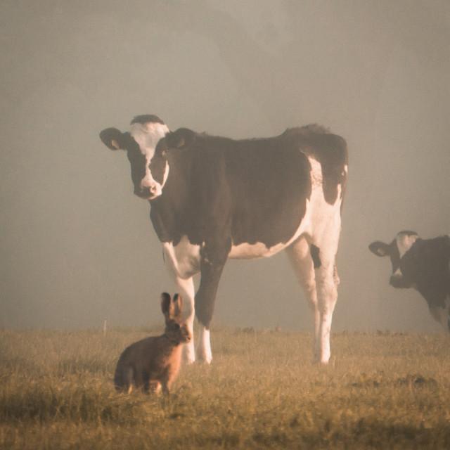 """Cow"" stock image"