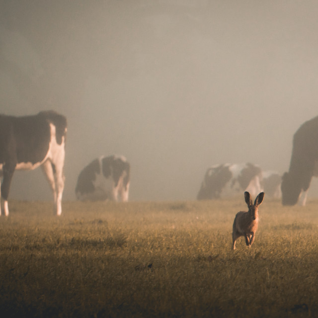 """""""Cow & Hare 2"""" stock image"""