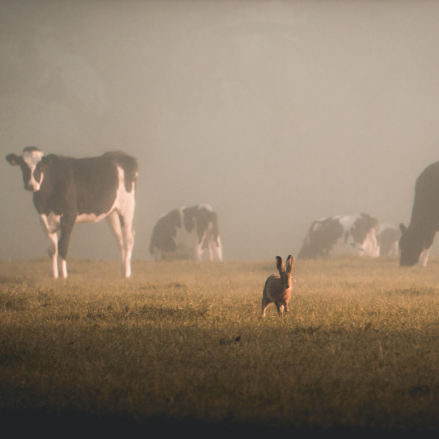 """""""Cow & Hare 1"""" stock image"""
