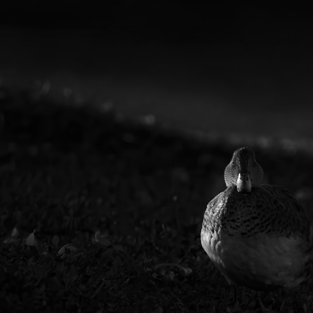 """""""Resting duck"""" stock image"""