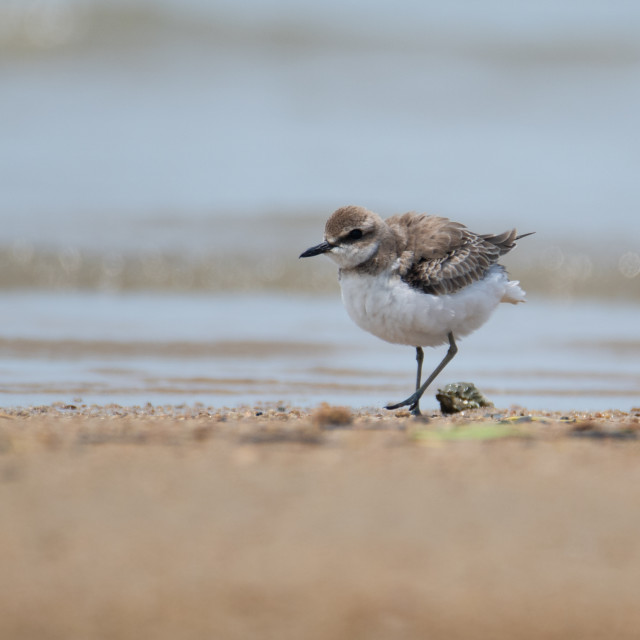 """""""Greater Sand Plover looking fluffy"""" stock image"""