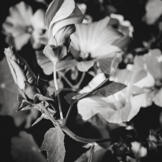 """Autumn Flower VI (Black And White)"" stock image"