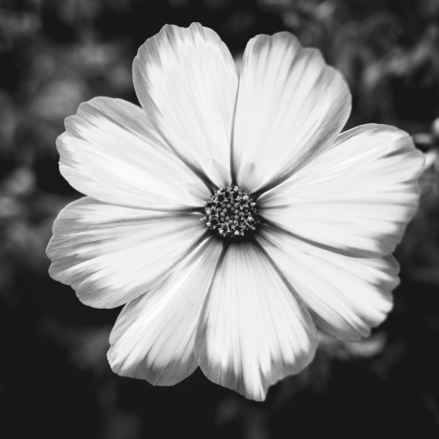 """Gorgeous Petals (Black And White)"" stock image"