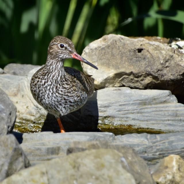 """Redshank water bird"" stock image"