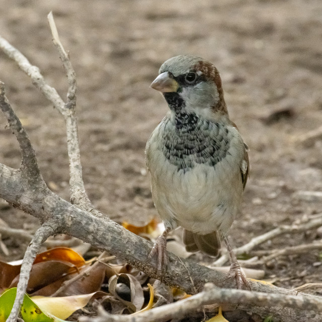 """""""House Sparrow in a close up"""" stock image"""