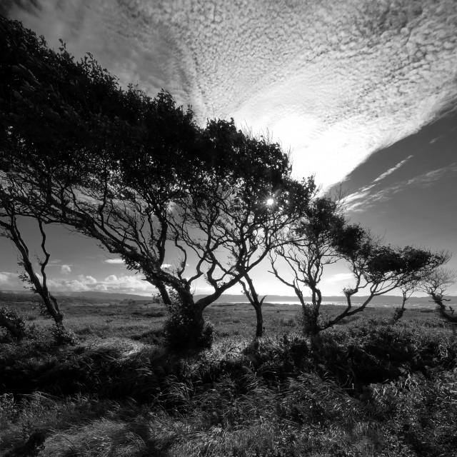 """""""Windswept Trees"""" stock image"""