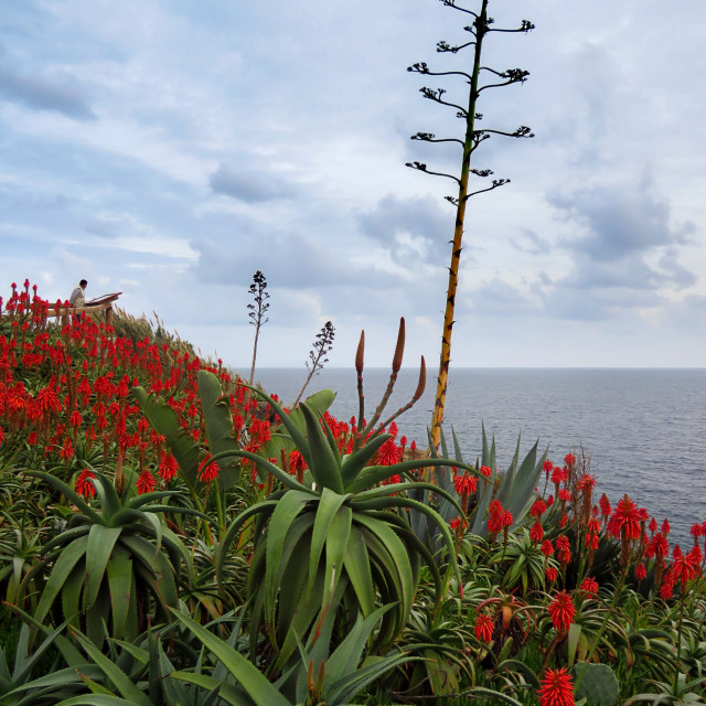 """Aloe red flowers"" stock image"