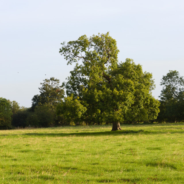 """""""Tree in a green grassy field"""" stock image"""
