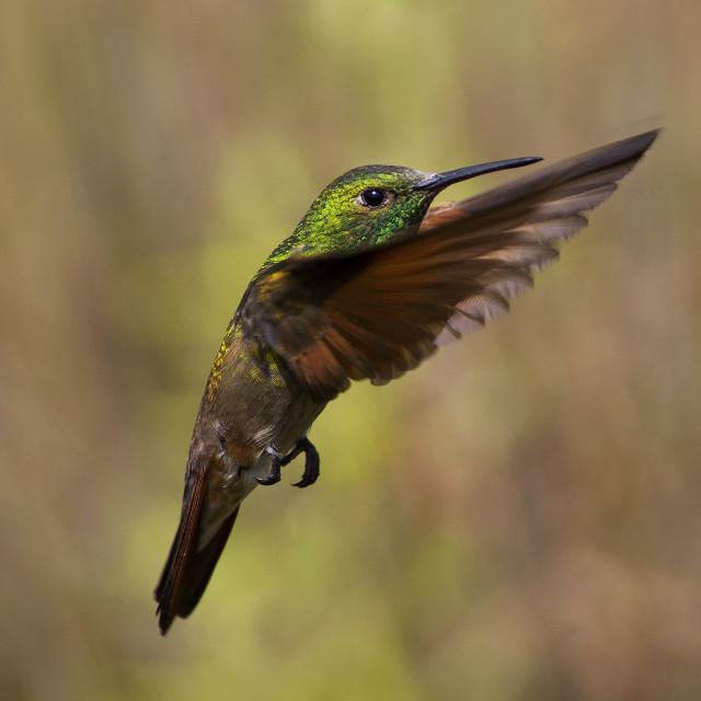 """Berylline hummingbird"" stock image"