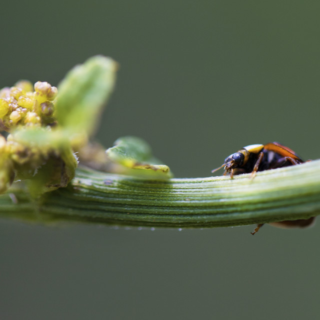 """""""Ladybug and and a yellow flower"""" stock image"""