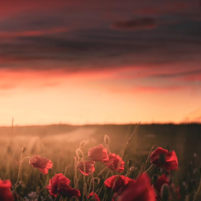 """""""Poppies at Sunset"""" stock image"""