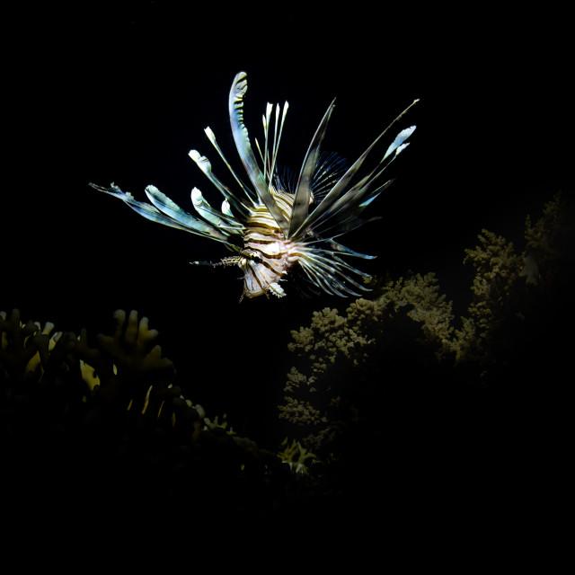 """""""Lionfish"""" stock image"""