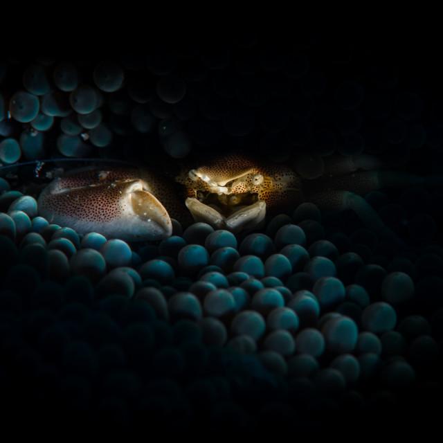 """Porcelain crab"" stock image"