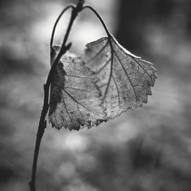 """Embrace III (Leaf Black And White)"" stock image"