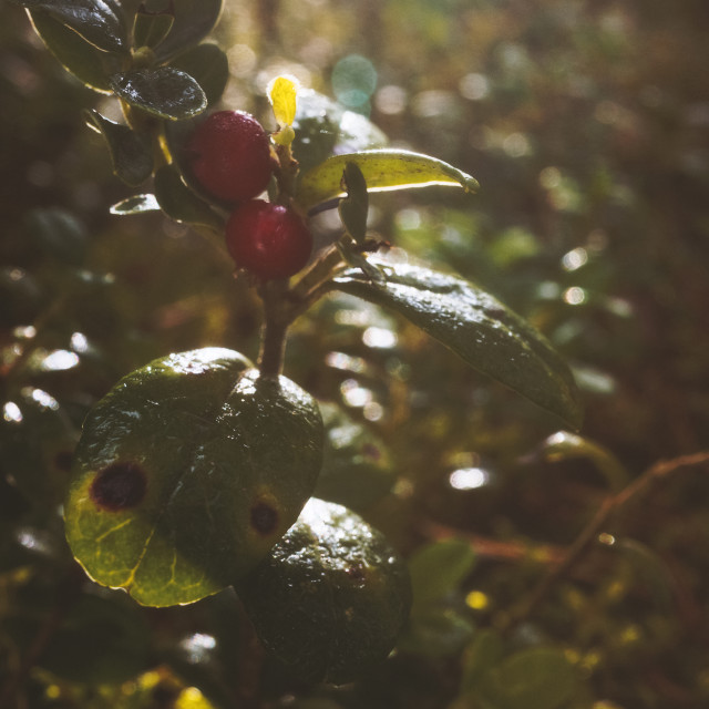 """Merging To Forest II (Lingonberry)"" stock image"