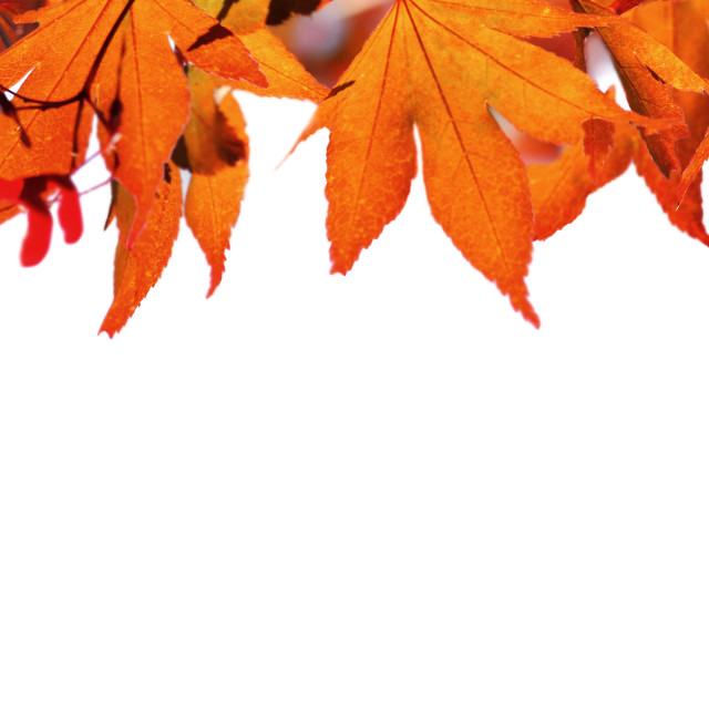 """red autumnal leaf of maple tree in panoramic view on white bac"" stock image"