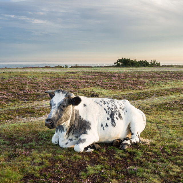 """""""Cow Resting"""" stock image"""
