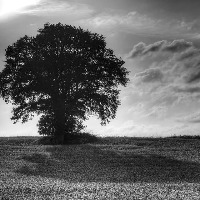 """""""Lone Oak Tree"""" stock image"""
