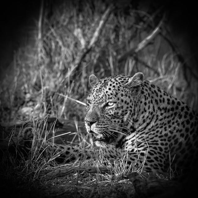 """Leopard portrait - black and white - vignette"" stock image"