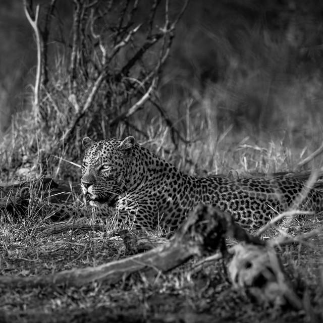 """Leopard in setting sun Kruger Park"" stock image"