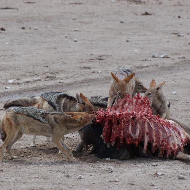 """Jackals eating wildebeast"" stock image"
