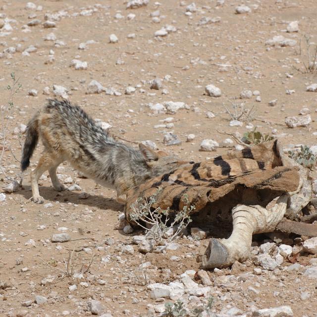 """a jackal eats the remains of a zebra"" stock image"